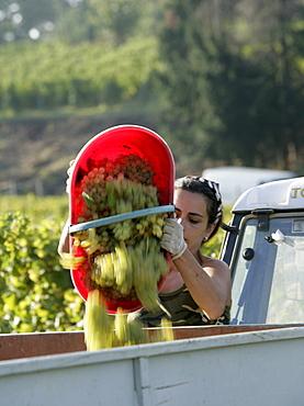 Vendemmia, harvest, of white Cortese grapes at La Scolca Winery in Gavi, Piedmont, Italy.