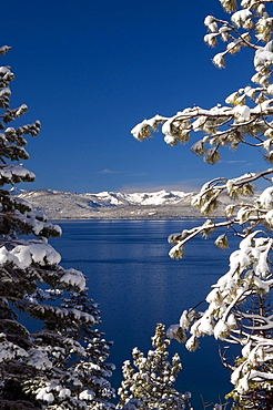 Tree branches with fresh snow frame Lake Tahoe on a clear blue sky day, Nevada.
