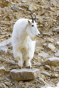 A mountain goat on watch in the Big Belt Mountains, Canyon Ferry, Montana, United States of America