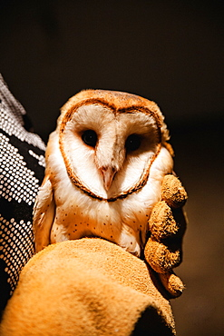 A researcher holds a Barn Owl (Tyto alba) after it was captured from Vancouver International Airport. The bird will be relocated to an area 100km away from the airport in hopes that it will not return, Langley, British Columbia, Canada