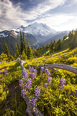 Purple Lupin (Lupinus perennis) grow across the valley from Mount Ranier, Mount Ranier National Park, Washington, United States