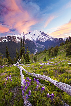 Purple Lupin (Lupinus perennis) grow across the valley from Mount Ranier in Mount Ranier National Park, Mount Ranier National Park, Washington, United States