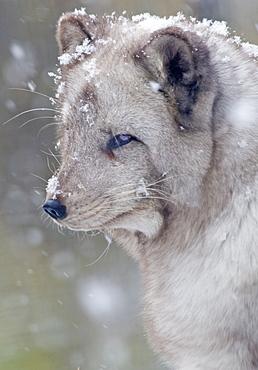 Arctic fox Alopex lagopus, Adult Fox in Snowfall (captive) Highland Wildlife Park, Cairngorms, Kingussie, Scotland, UK