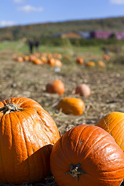 Pumpkins await picking on a farm in Fishkill, New York.