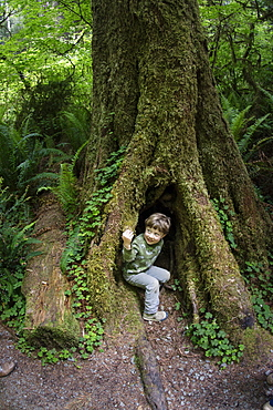 Toddler boy peers out of dark hole in Redwood Tree trunk, Redwood National Park, California.