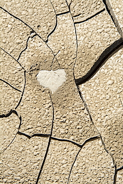 Imprint of a cottonwood leaf in cracked mud along the banks of the recently flooded Freemont River, Hanksville, Utah.