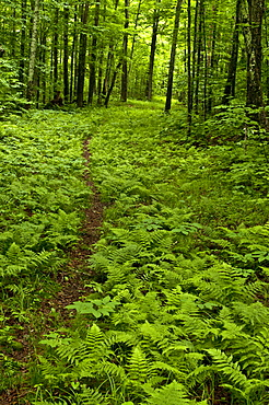 A winding trail among the ferns and trees in the White Mountains of New Hampshire.