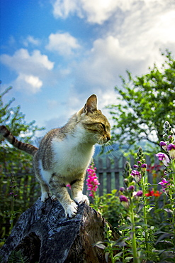 Cat standing on a tree stump in the backyard with garden flowers around it. Ðakovo village, southwest Serbia.