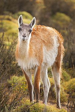 A wild guanaco (lama guanicoe) in Chile's Torres del Paine National Park.