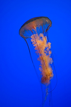 A sea nettle on a blue background, United States