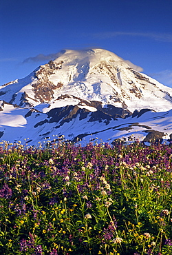 Wildflowers glow in the late evening light in front of the north face of Mt. Baker, in the Mt. Baker Wilderness, North Cascades Mountains, Washington, United States of America