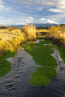 November 12, 2008 Mt Shasta CA, Big Springs ranch The Shasta River as it runs through Big Springs Ranch about 20 miles north of the town of Mt Shasta. The Shasta River and its tributaries create one of the most important spawning nurseries for Chinook salmon in the entire Klamath Basin. The ranch is contributing to degraded habitat conditions, which actually warm water temps by upwards of 10 degrees as the river passes through the ranch and then spills into the Klameth River.This stretch of river is a very fertile juvenile salmon rearing area and that there are a surprising number of returning salmon in spite of habitat degraded by grazing cattle and bad irrigation practices, United States of America