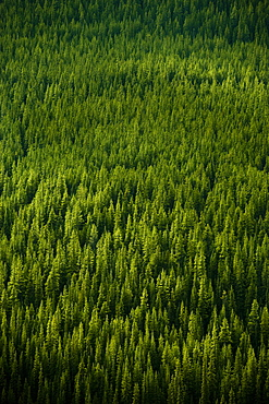 Forest in Banff National Park.