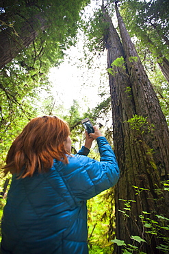 A tourist takes a picture of a giant Redwood Tree near Stout Grove in Jedediah Smith Redwoods State Park.