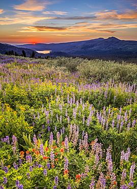 Field of wildflowers at sunset on Carson Pass, High Sierra California, Mokelumne Wilderness Area, California, United States of America