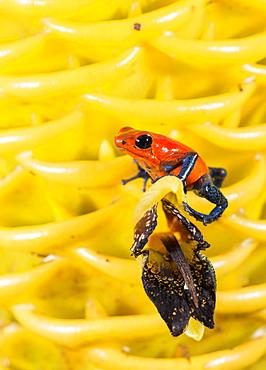 Strawberry poison-dart frog (Oophaga pumilio), Costa Rica, Costa Rica, Costa Rica, Costa Rica