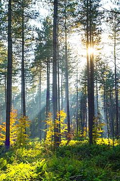 Light rays through trees in Hoge Kempen National Park in autumn, Limburg, Vlaanderen (Flanders), Belgium