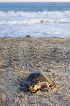 Olive Ridley Sea Turtle makes its way from the ocean onto the beach in order to lay its eggs in Oaxaca, Mexico. - 857-92980