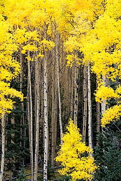 Beautiful aspen trees turn bright yellow during the fall along the Santa Fe National Forest Scenic Byway, New Mexico.