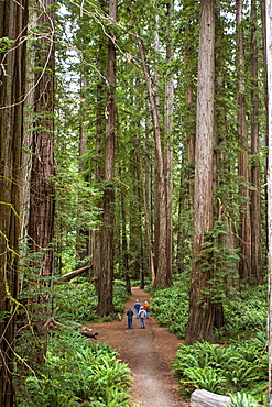Group Of People Standing On A Trail Of Redwood National Park, California, Usa