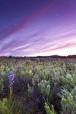 Lupine wildflowers in Truckee during sunset