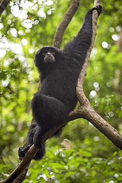 Sumatran Siamang Sitting On The Tree Branch In The Forest, Bukit Lawang, Sumatra, Indonesia
