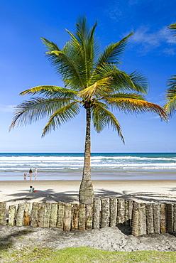 Coconut palm tree in tropical beach of Itacarezinho, Itacare, Bahia, Brazil