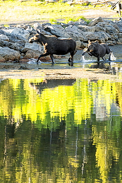 Beautiful nature photograph of adult and young moose (Alces alces) on lakeshore, Lily Lake Trail, Rocky Mountain National Park, Estes Park, Colorado, USA