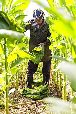 Man smoking cigar while harvesting tobacco leaves in plantation, Vinales, Pinar del Rio Province, Cuba