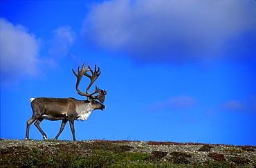 Caribou Walking On Hill Crest
