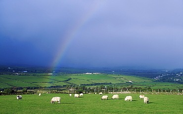 Ireland, Sheep In A Field With Rainbow
