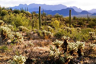 Organ Pipe Cactus National Monument, Sonoran Desert, Arizona, Usa