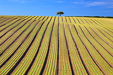 Tree In Ploughed Field, England