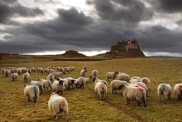 Sheep Grazing By Lindisfarne Castle, Holy Island, Berwick-Upon-Tweed, Northumberland, England, Eu