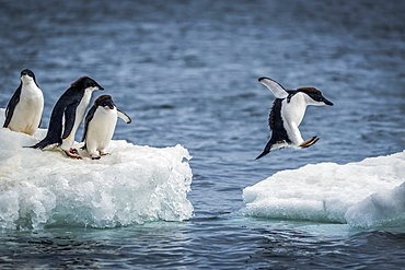 Three Adelie penguins (Pygoscelis adeliae) watch another jumping between two ice floes. They have black heads and backs with white bellies; Antarctica