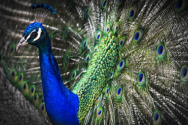 Close-Up Of A Peacock Displaying It's Plumage; Victoria, British Columbia, Canada