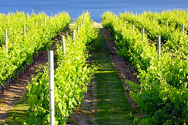 Vineyard, Okanagan, British Columbia, Canada