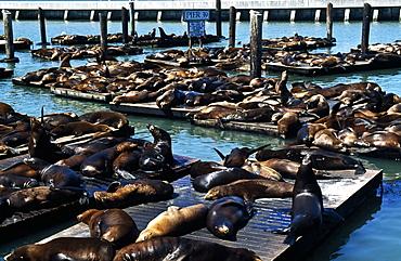 Seals On Pier, San Francisco, Usa