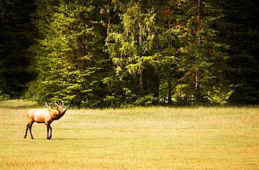 Elk In Natural Habitat