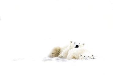 Two Polar Bears Snuggling