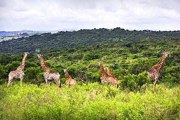 Giraffes (Giraffa Camelopardalis) In South Africa