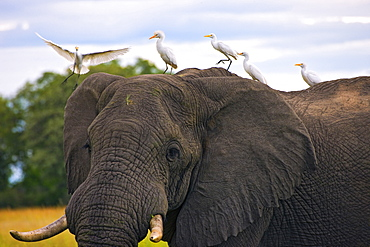 African Elephant (Loxodonta) And Cattle Egrets (Bubulcus Ibis)