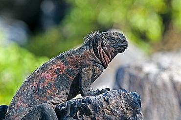 Marine Iguana On Rock