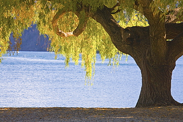 Large Tree On The Beach Of Lake Wakatipu, New Zealand