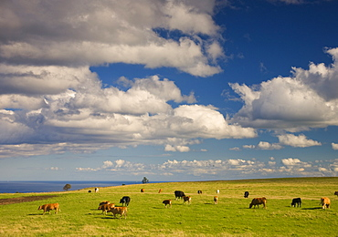 Cattle Grazing In A Field, Yorkshire, England