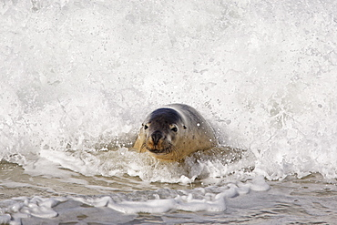 Australian Sea Lion (Neophoca Cinerea), Kangaroo Island, Australia