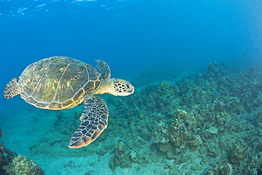 Green Sea Turtle, Turtle Cleaning Station, South Maui, Hawaii, Usa