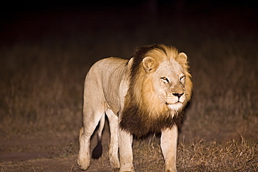 Lion (Panthera Leo), Arathusa Safari Lodge, Sabi Sand Reserve, Mpumalanga, South Africa, Africa