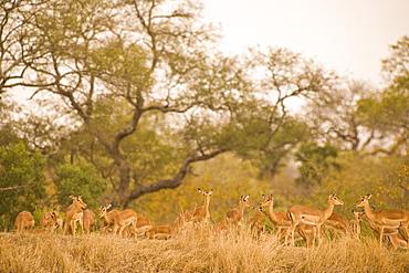 Black Faced Impala (Aepyceros Melampus Petersi), Arathusa Safari Lodge, Sabi Sand Reserve, Mpumalanga, South Africa, Africa