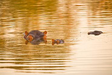 Hippopotamus (Hippopotamus Amphibius), Arathusa Safari Lodge, Sabi Sand Reserve, Mpumalanga, South Africa